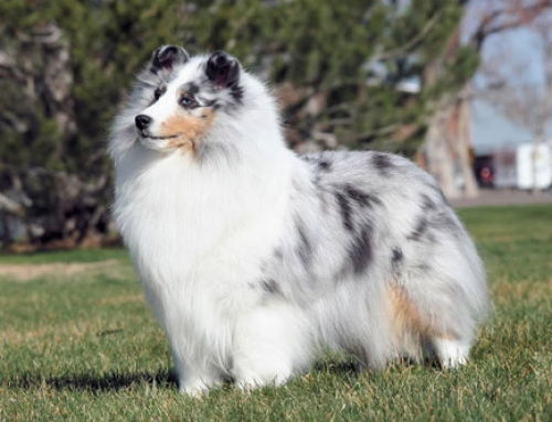 Is the Sheltie right for you?