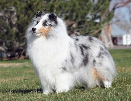 is the sheltie right for you american shetland sheepdog association