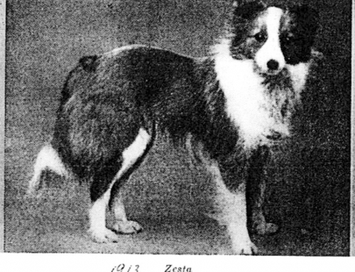 Shetland Sheepdog History by Charlotte McGowan
