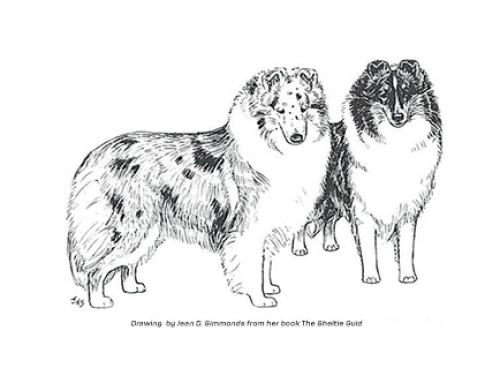 Judging the Shetland Sheepdog by Linda C. More